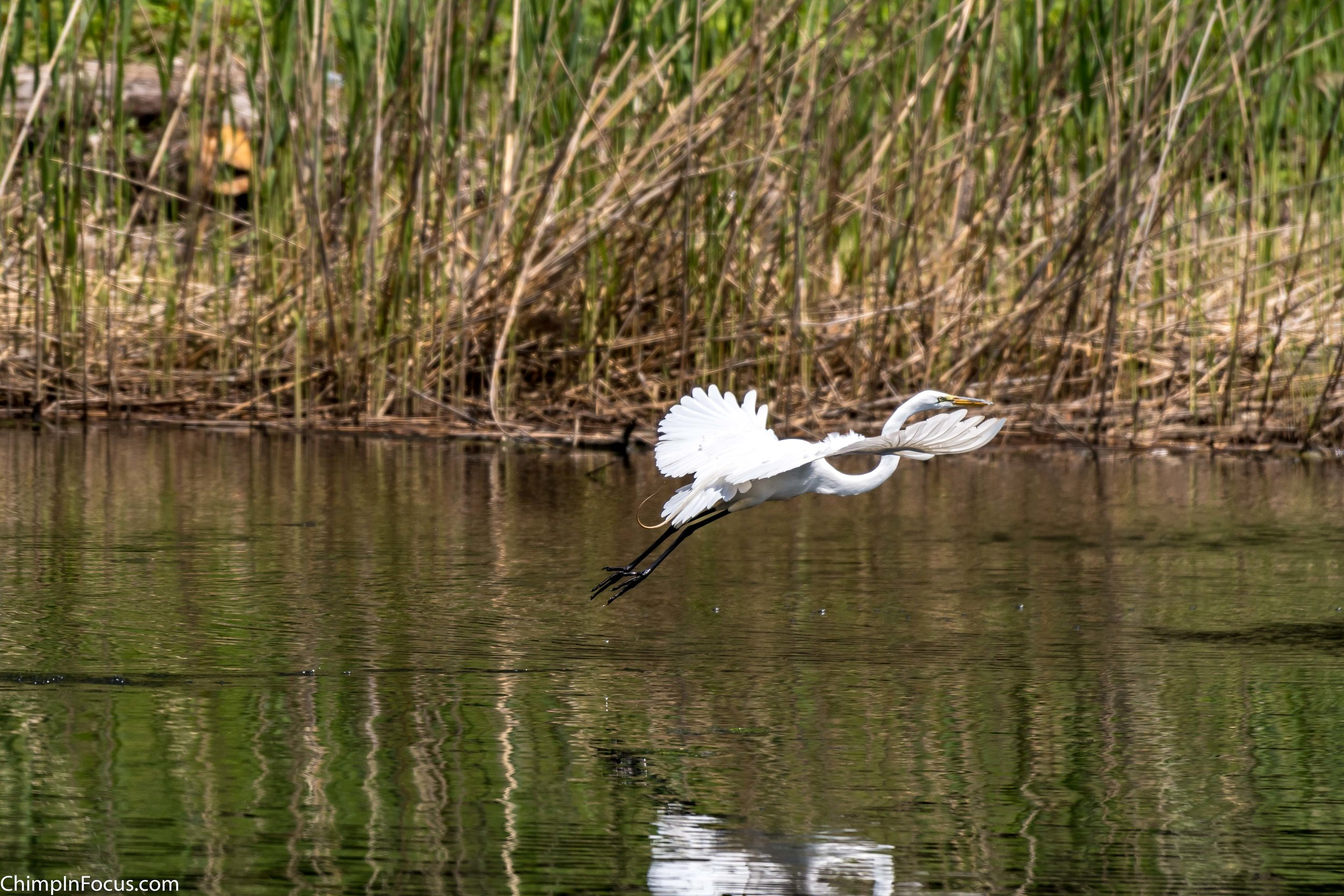 CIF-Great Egret-38.jpg