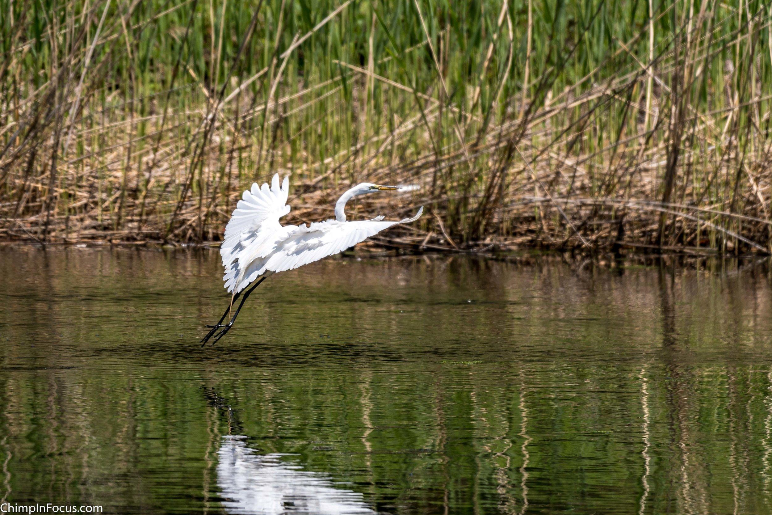 CIF-Great Egret-39.jpg