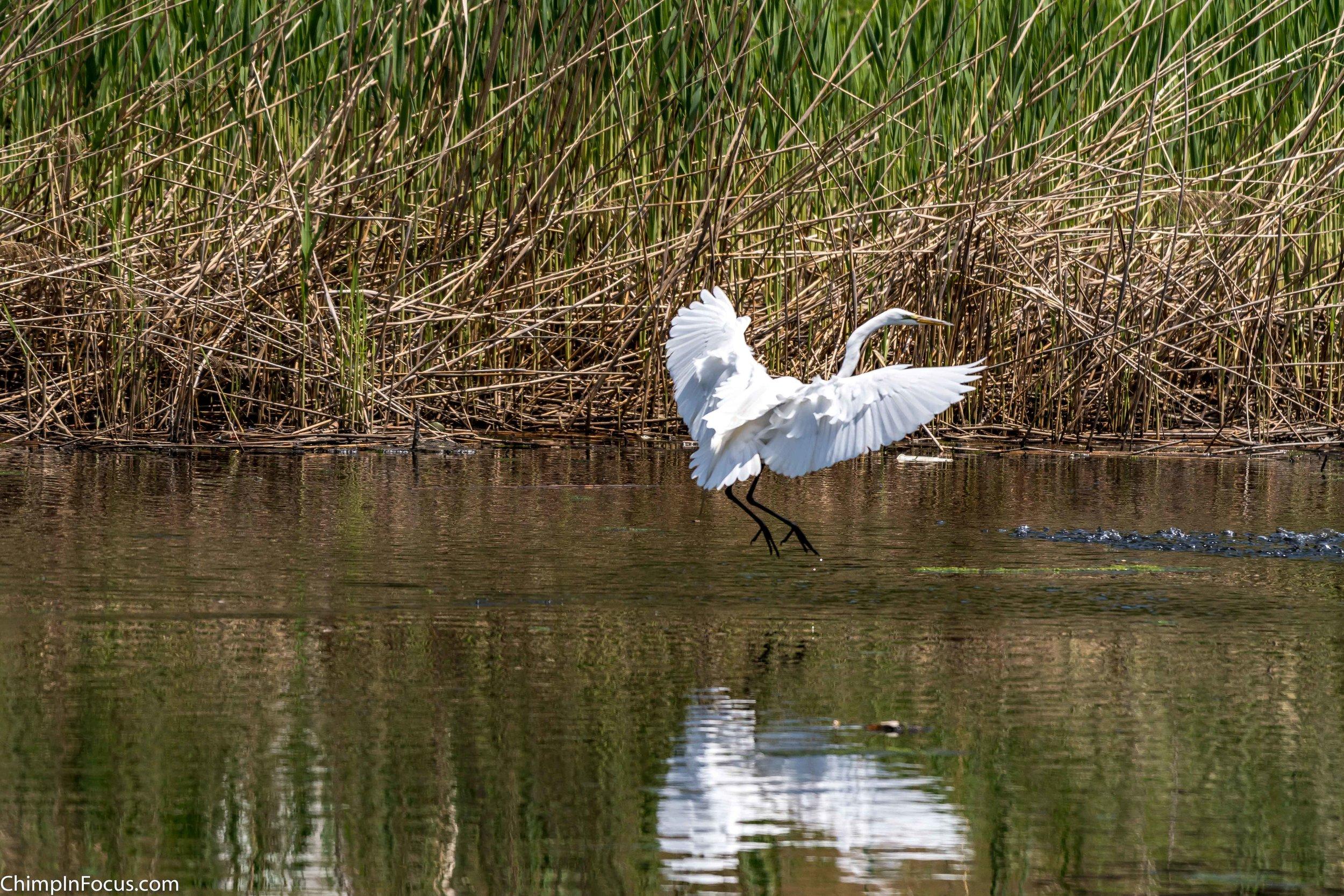 CIF-Great Egret-52.jpg
