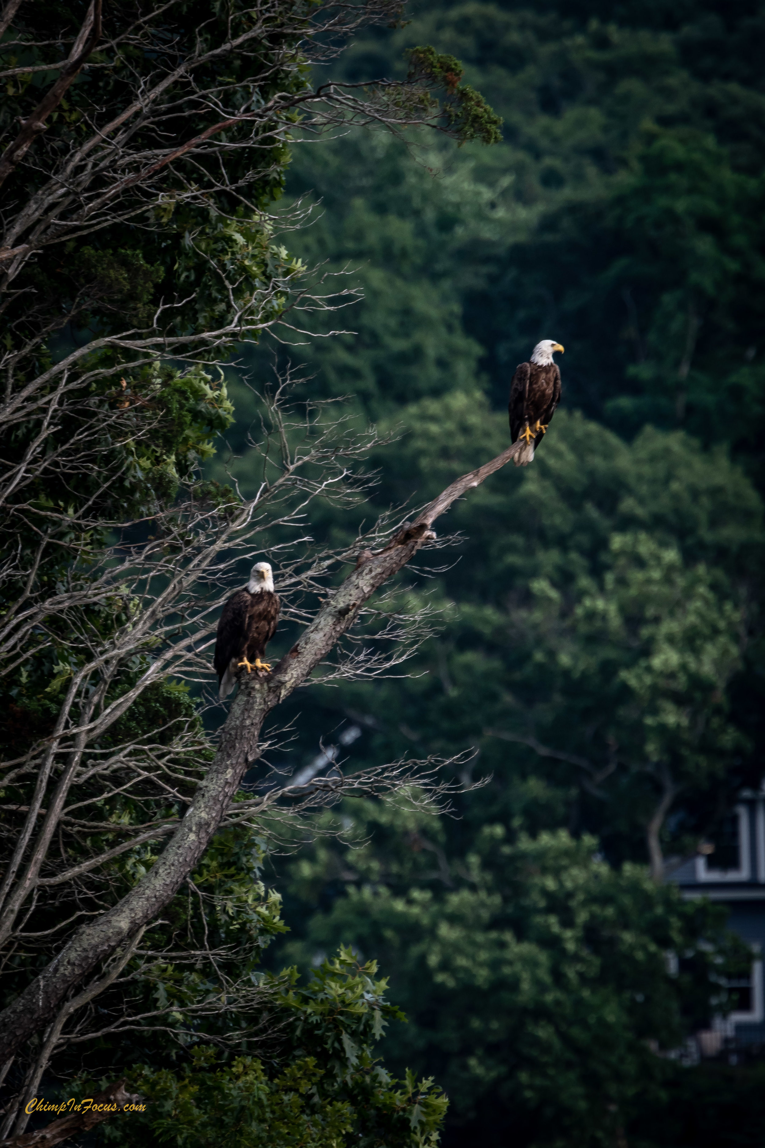 Bald Eagles perched.