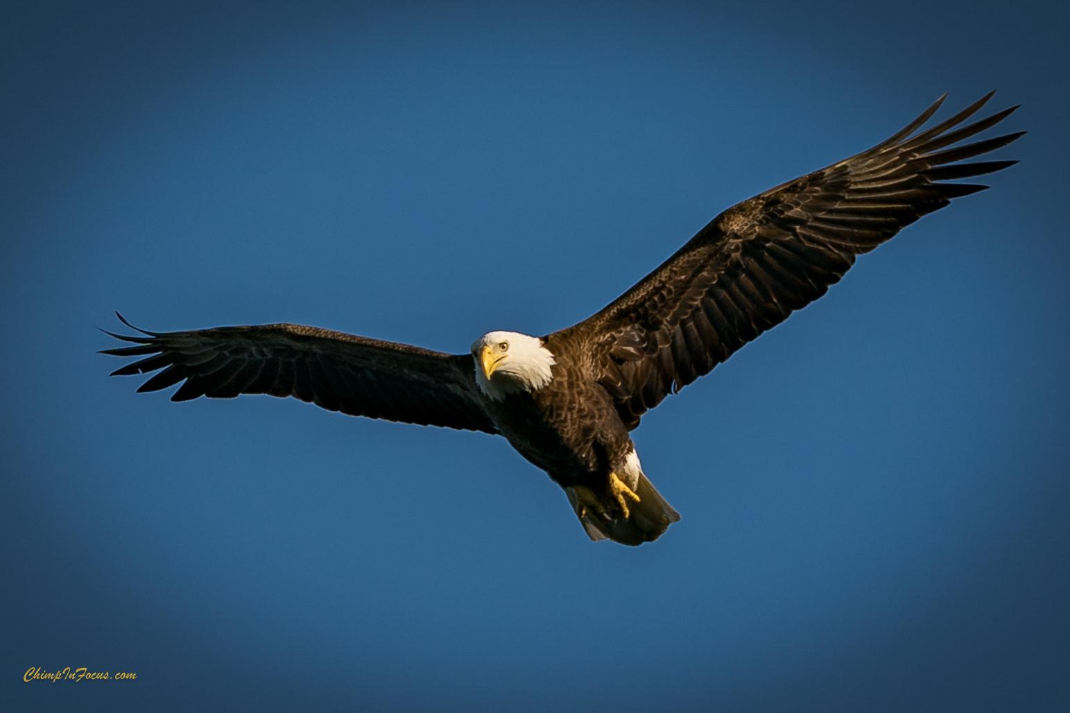 Eagle Soaring!