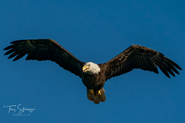 Adult Bald Eagle - Centerport, NY