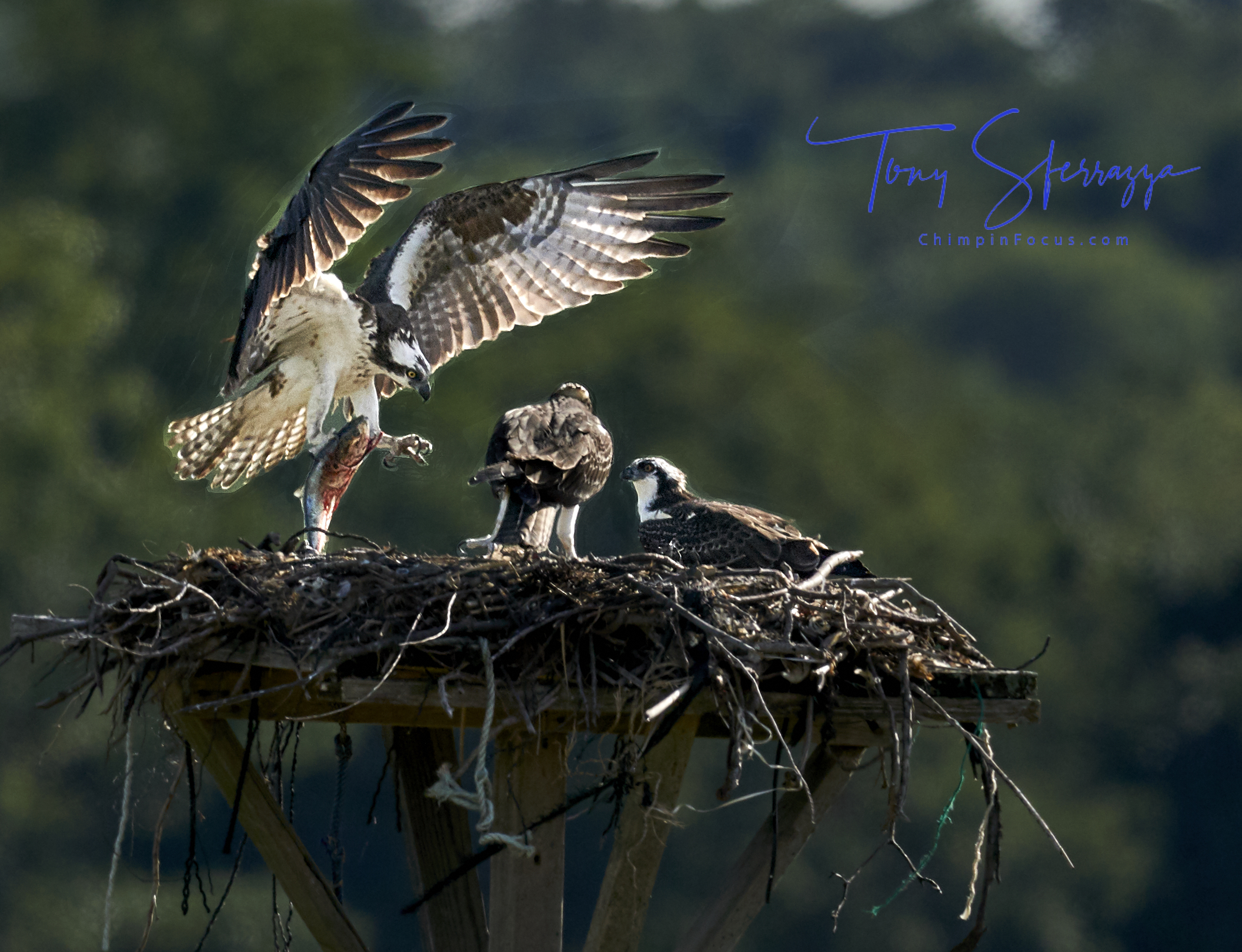 Osprey - Catch of the Day