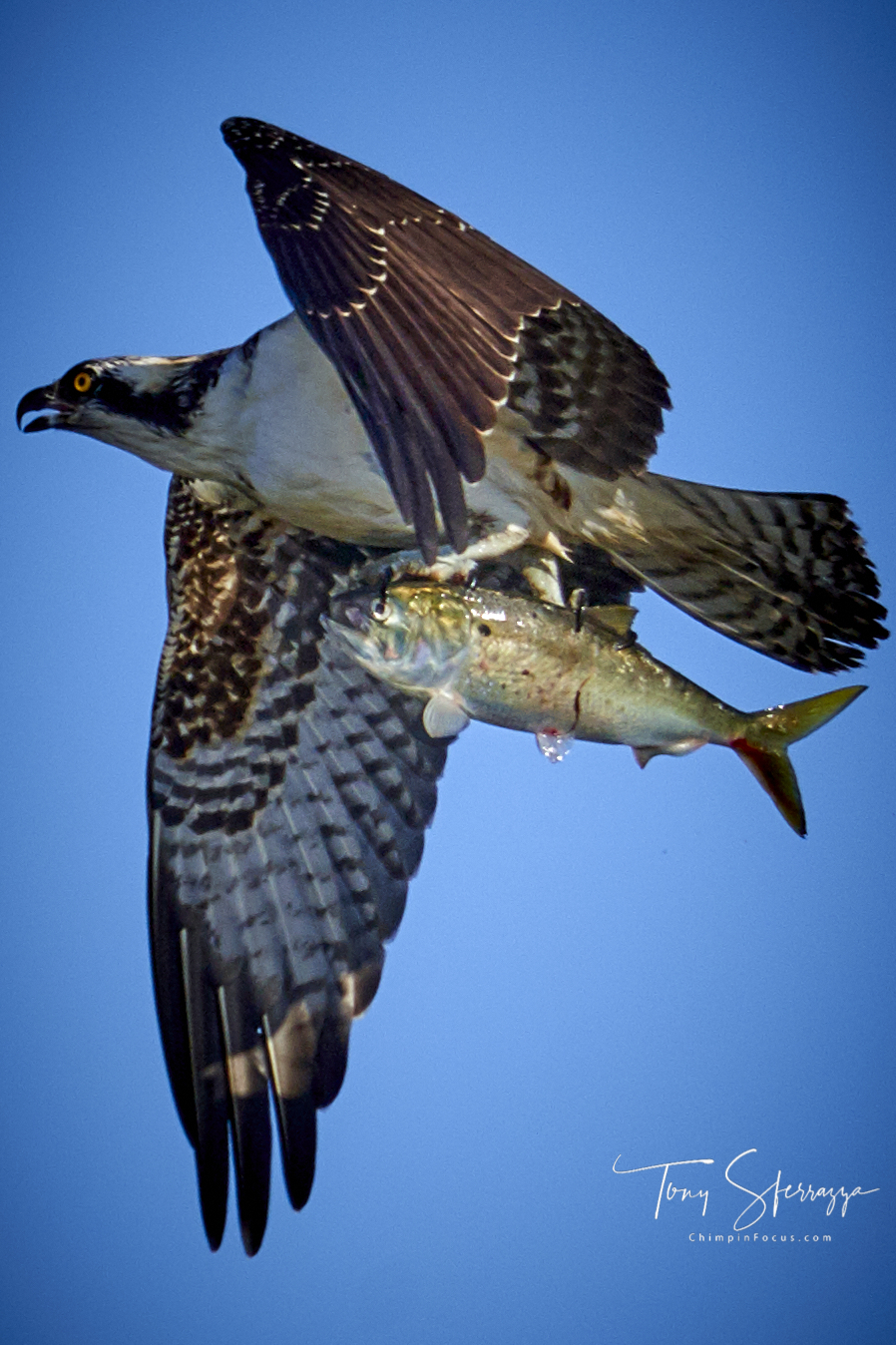 Osprey with its catch