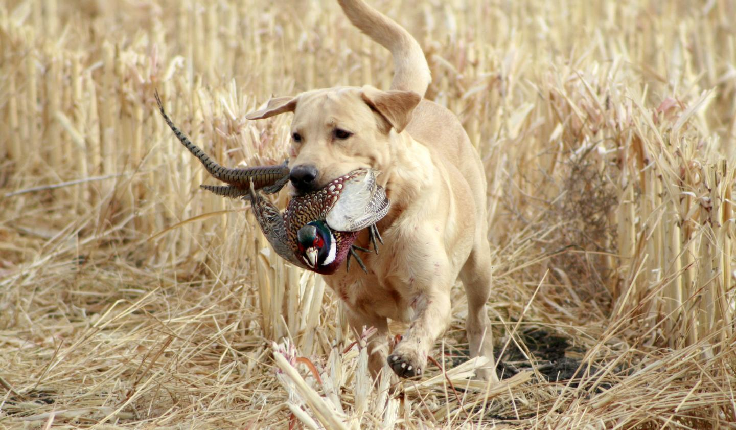Yellow Labrador Retriever, Lilly, in mid-run through a corn field with pheasant in her mouth