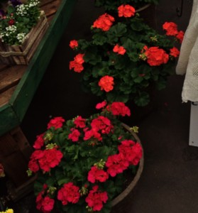 geranium sales gsc.jpg