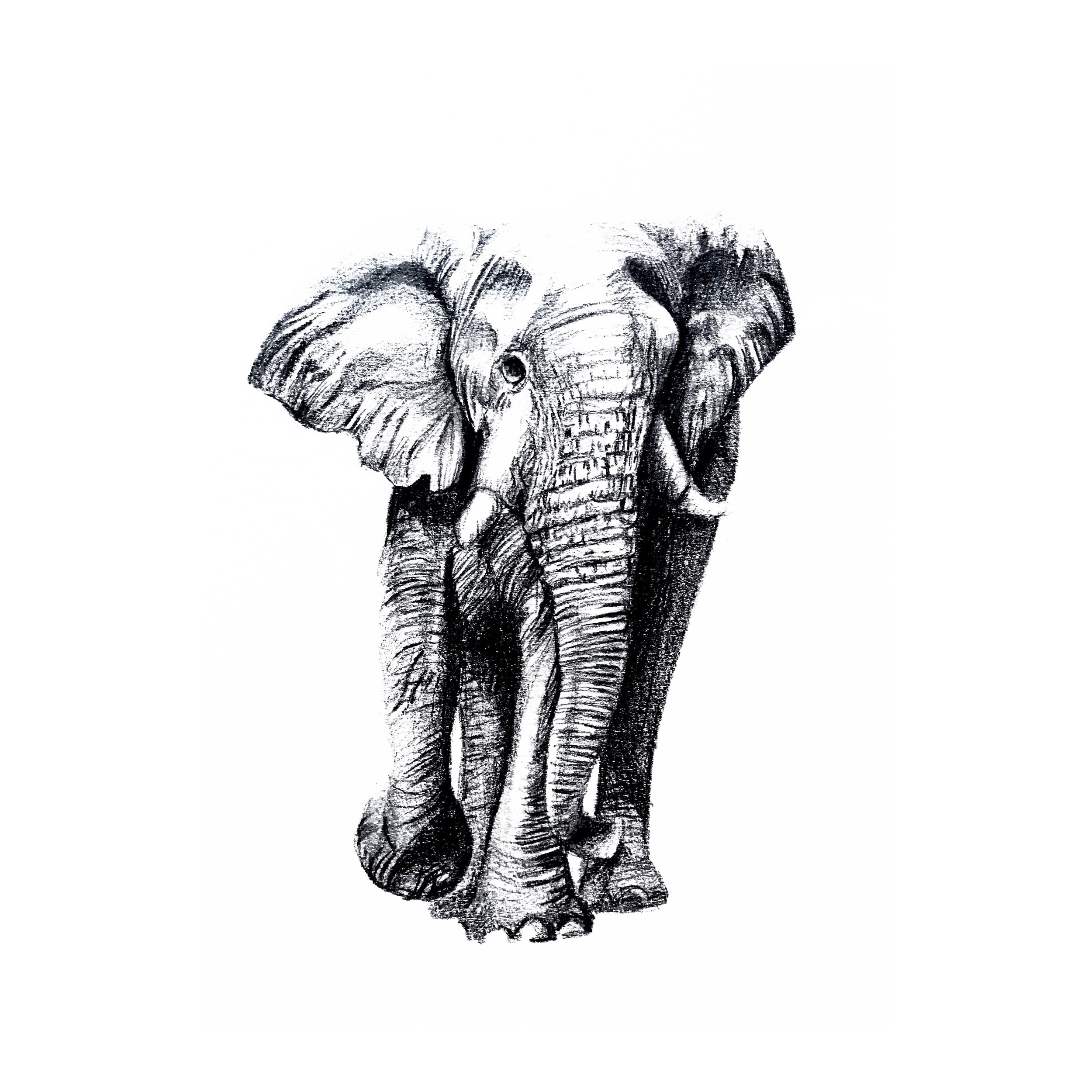 Elephant conservation fundraiser // Graphite on paper // Sydney, Australia