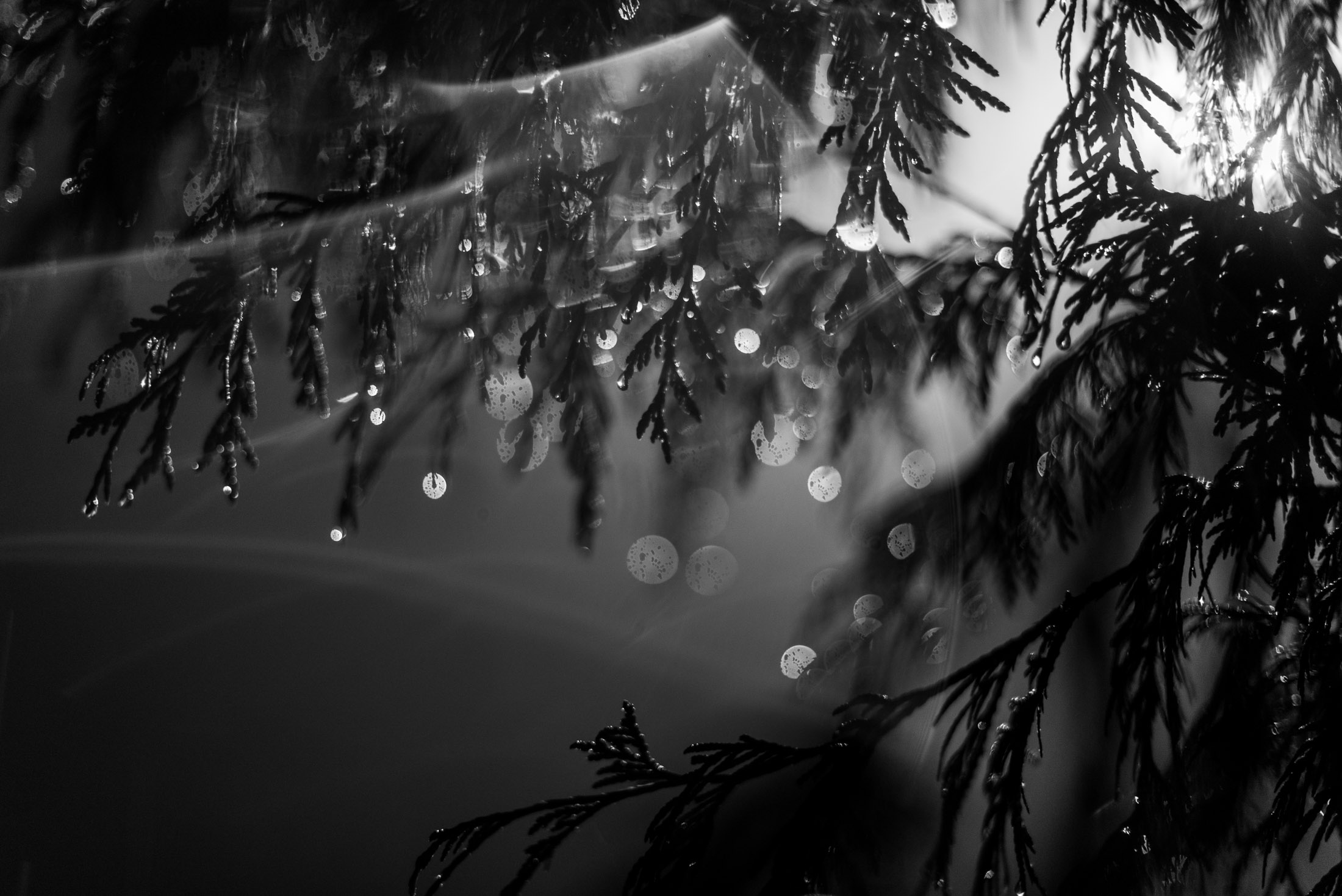 The tree collects little raindrops creating the illusion of natures Christmas lights for the camera in Vancouver, British Columbia. Photography by Kristine Nyborg ( www.wildblueberryphotography.com )