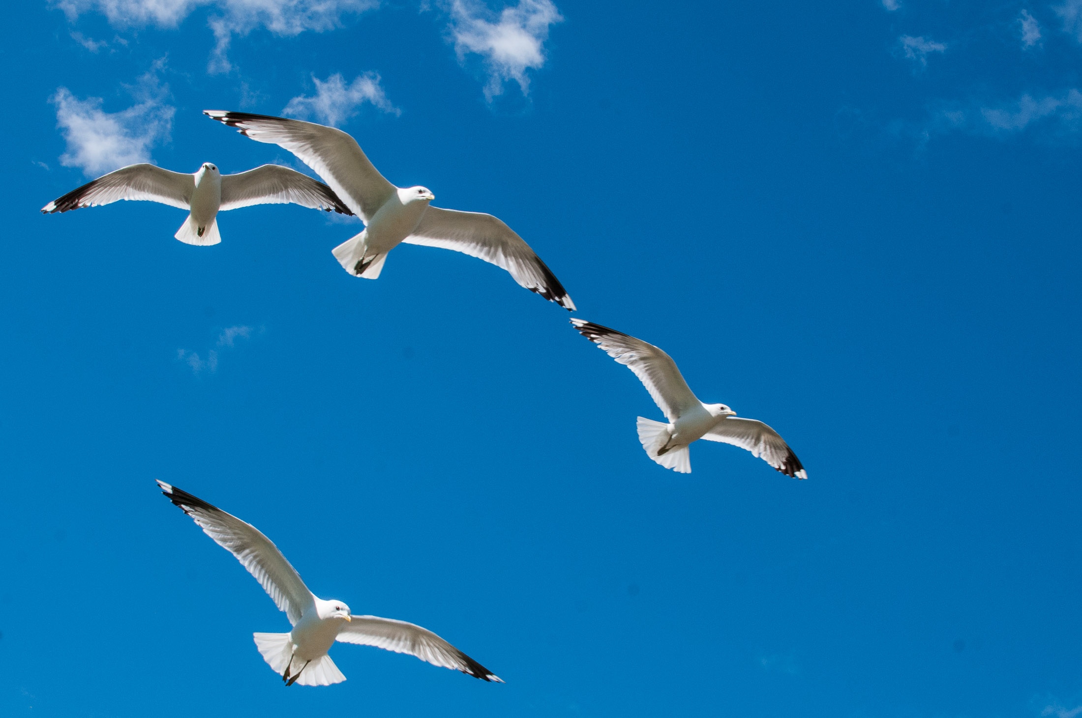 Seagulls fly against a blue sky in the hot Norwegian summer sun. Fredrikstad, Norway.