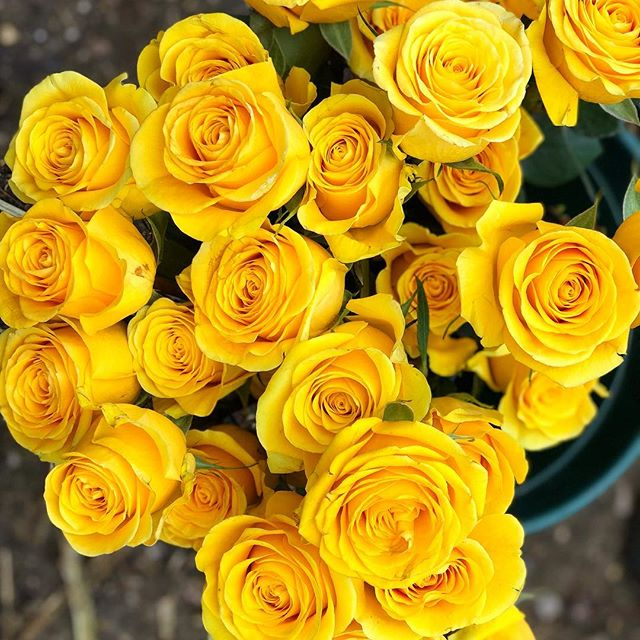 Check out these stunning yellow roses for today's wedding. They're called Brighton!