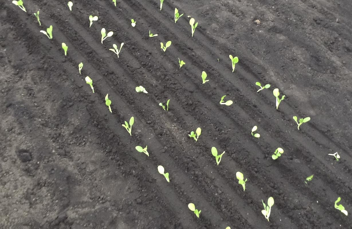 Depressions and ridges left by transplanter can facilitate weed management.