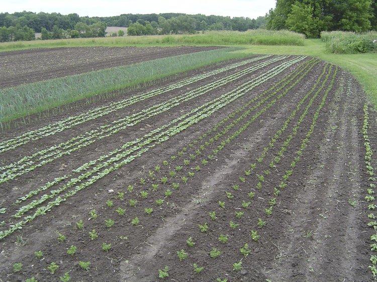 Freshly transplanted seedlings planted in a single afternoon.