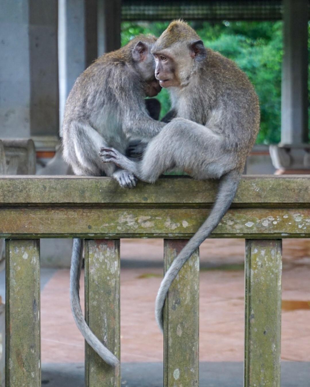 Bali_Monkeys_2.JPG