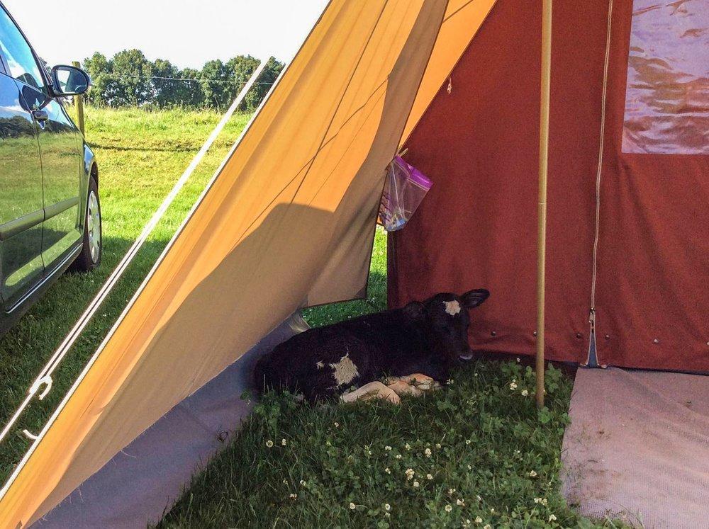 boerderijcamping-de-mebel-kalfje-in-tent.jpg