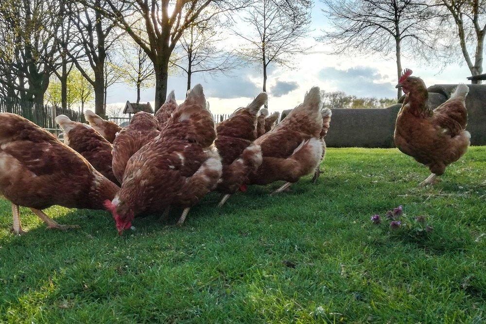 boerderijcamping-de-mebel-kippen.jpg