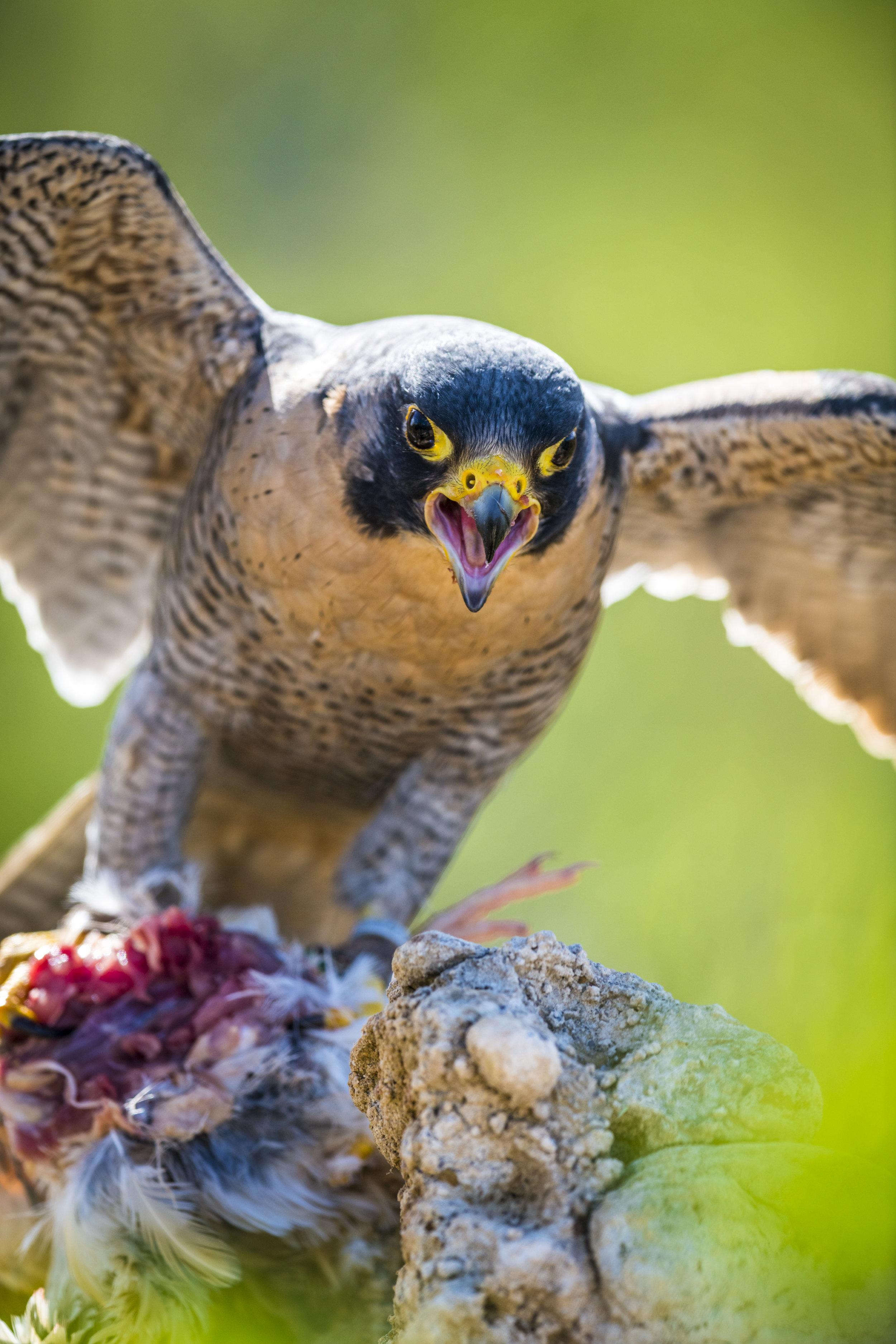 falcon no wm (1001 of 2).jpg