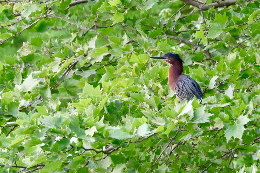 Sentinel Green Heron