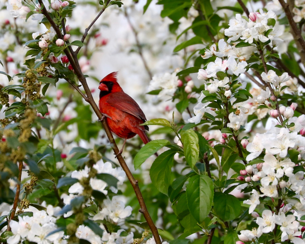 Northern Cardinal in Crabapple Tree
