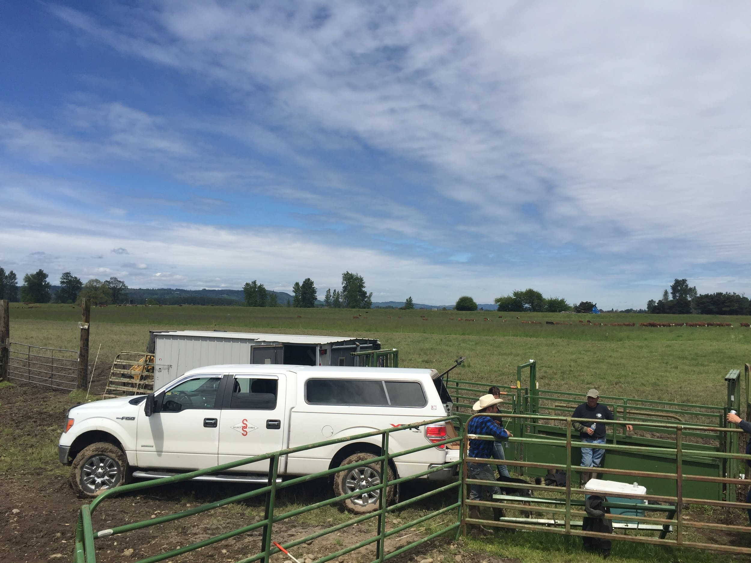 April 2017 just finished up on a group of 100 red Angus heifers in Battleground WA, just barely dry enough to get rigs and the breeding box in there!