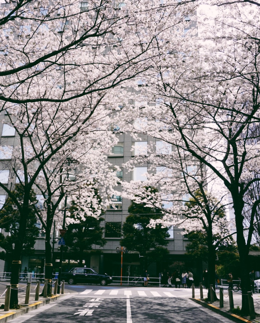 cherry-blossoms-tokyo-streets