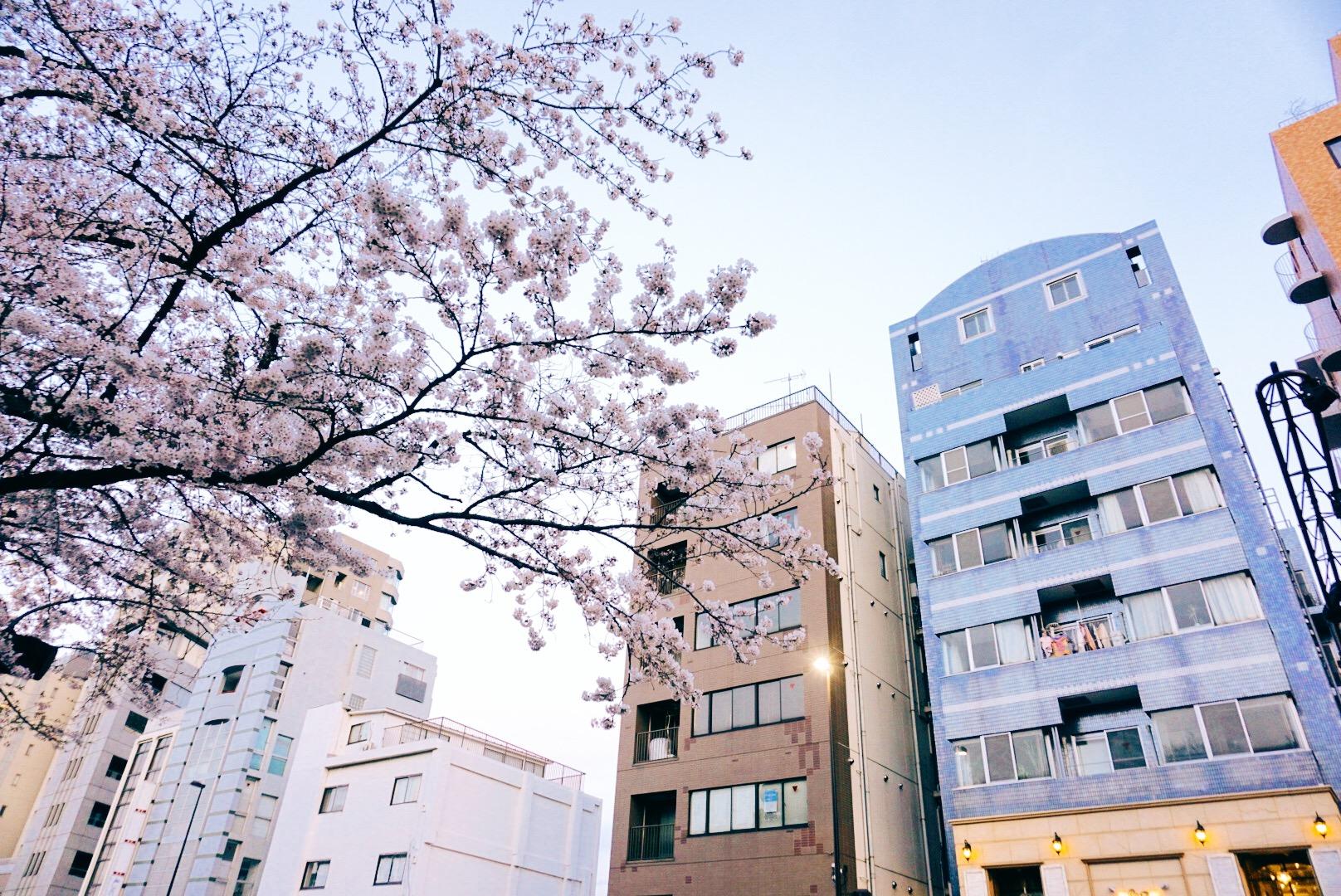 sakura-cherry-blossoms-tokyo-buildings