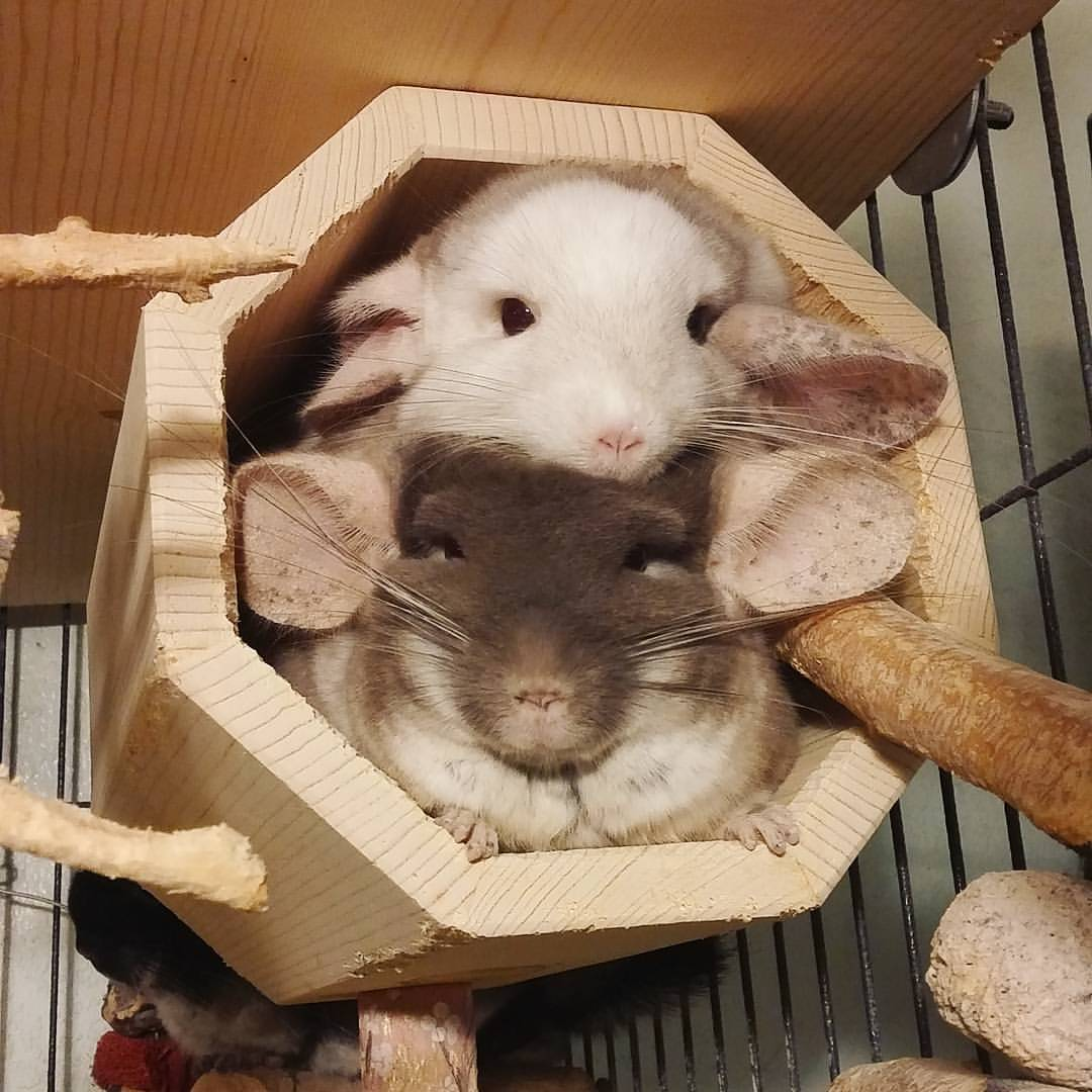 Envy and Ariel sharing their Hanging Octagonal Tunnel at  Let's Love Chinchillas .