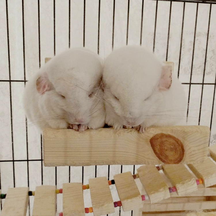 Peekaboo and Hichew napping in their Square Loft.