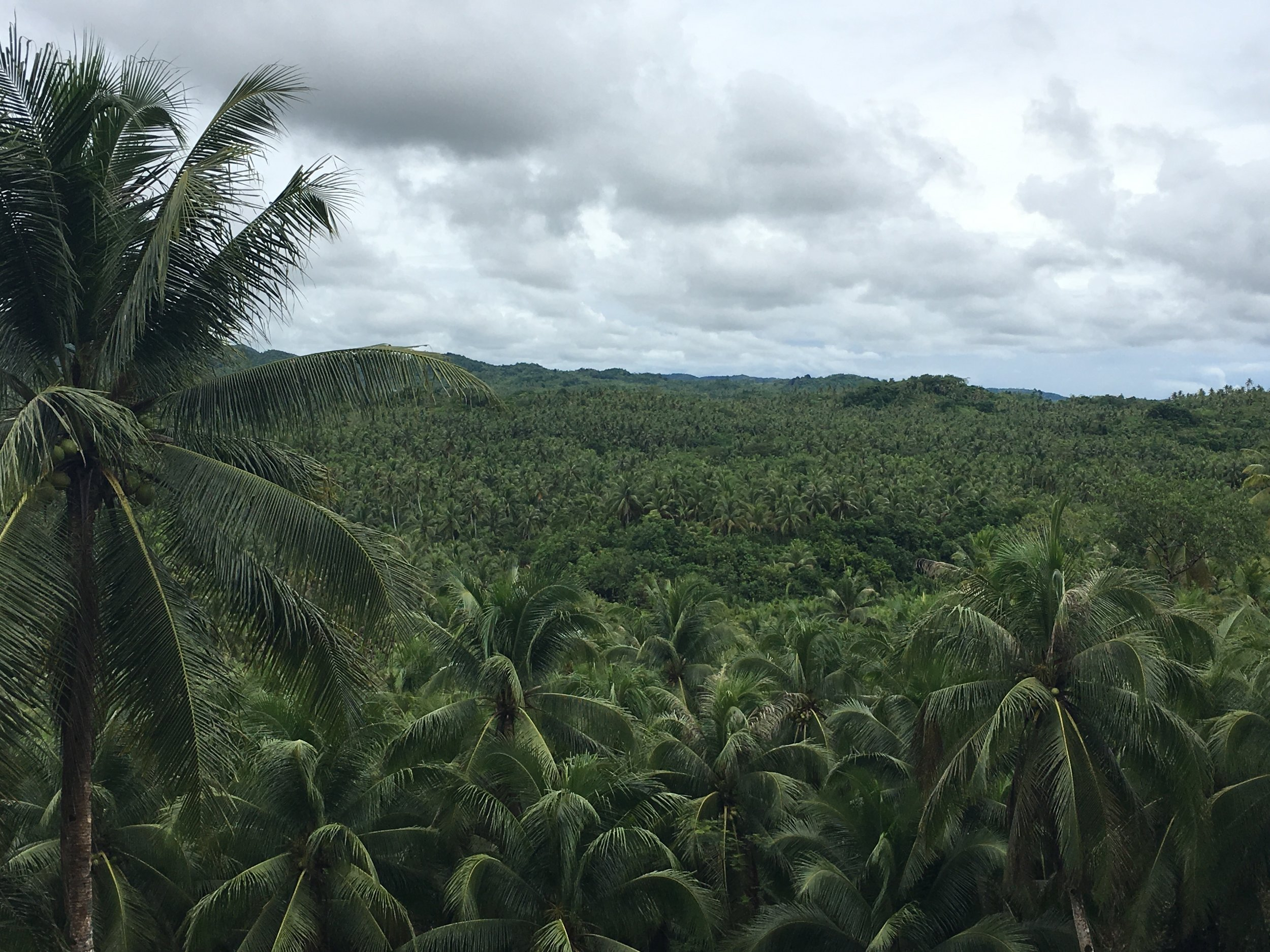 Coconut trees as far as the eye can see on the way to Pilar