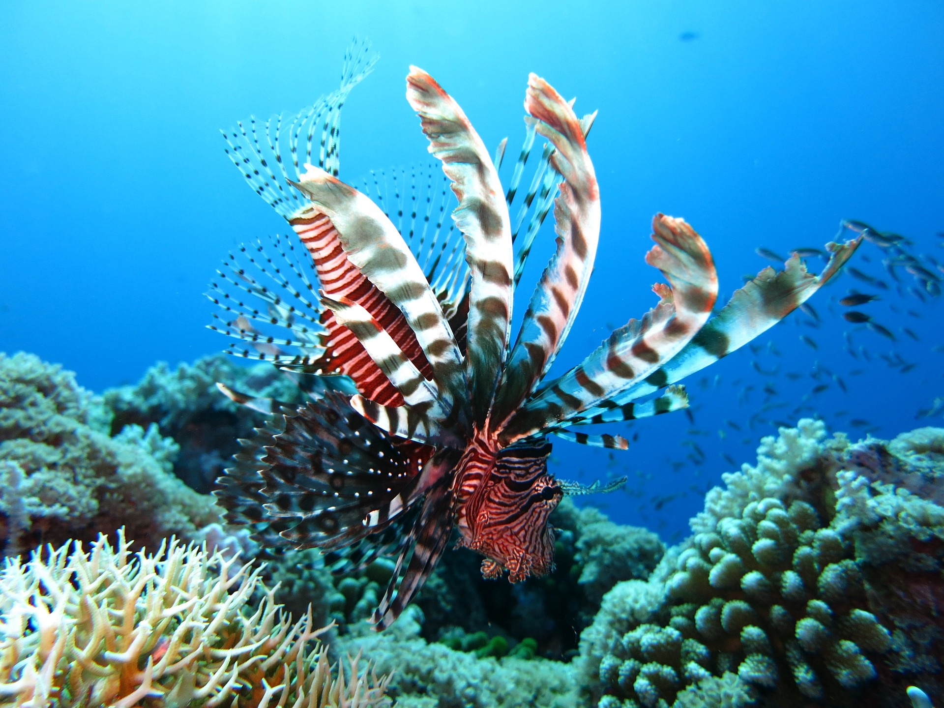 lionfish-1430225_1920.jpg