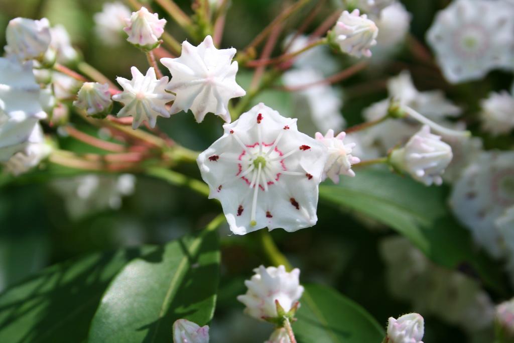 blooming white mountain laurel flower