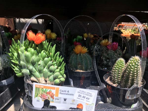 Fake flowers spotted on cactuses being sold at a Home Depot in northern California. (Photo:  Jessie Schiewe )