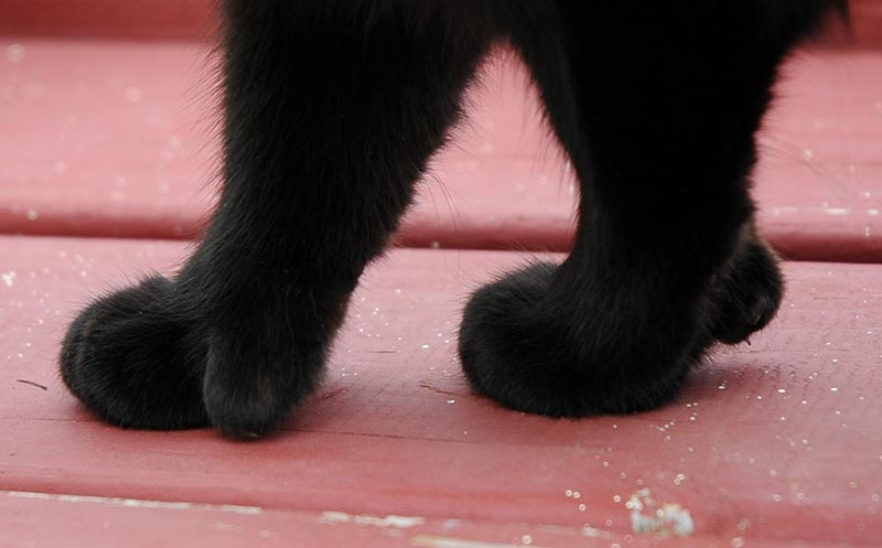 Humans go ga-ga for cats with extra toes. ( Photo: Flicker /    @eva101  )