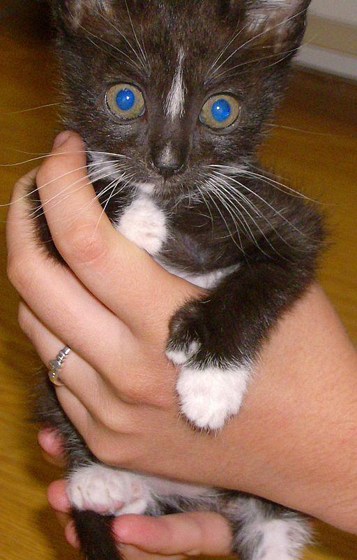 polydactyl-kitten