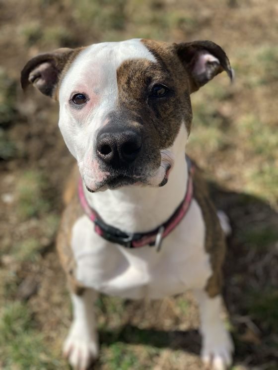 Rihanna the  Pit Bull Terrier mix