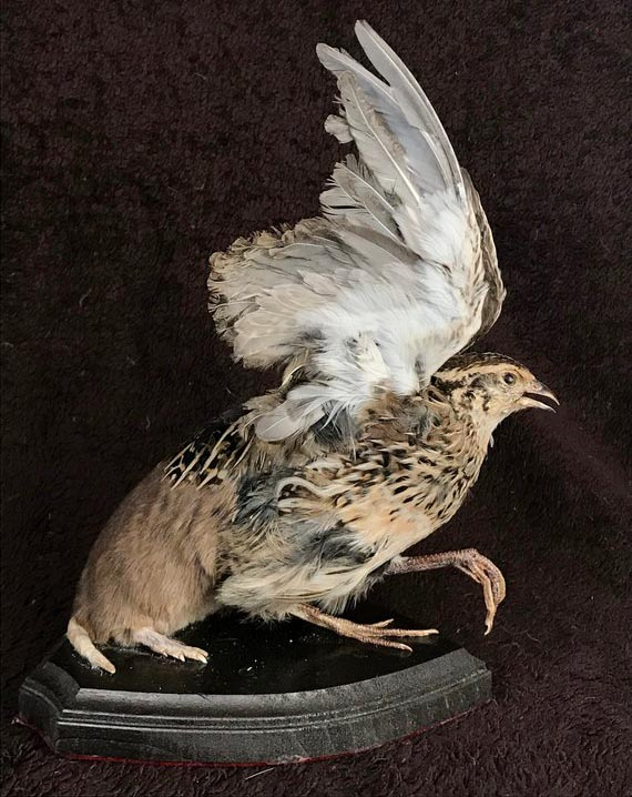 A combination of a domestic quail and a plains pocket gopher made by Donald Foster.  Credit:    Etsy