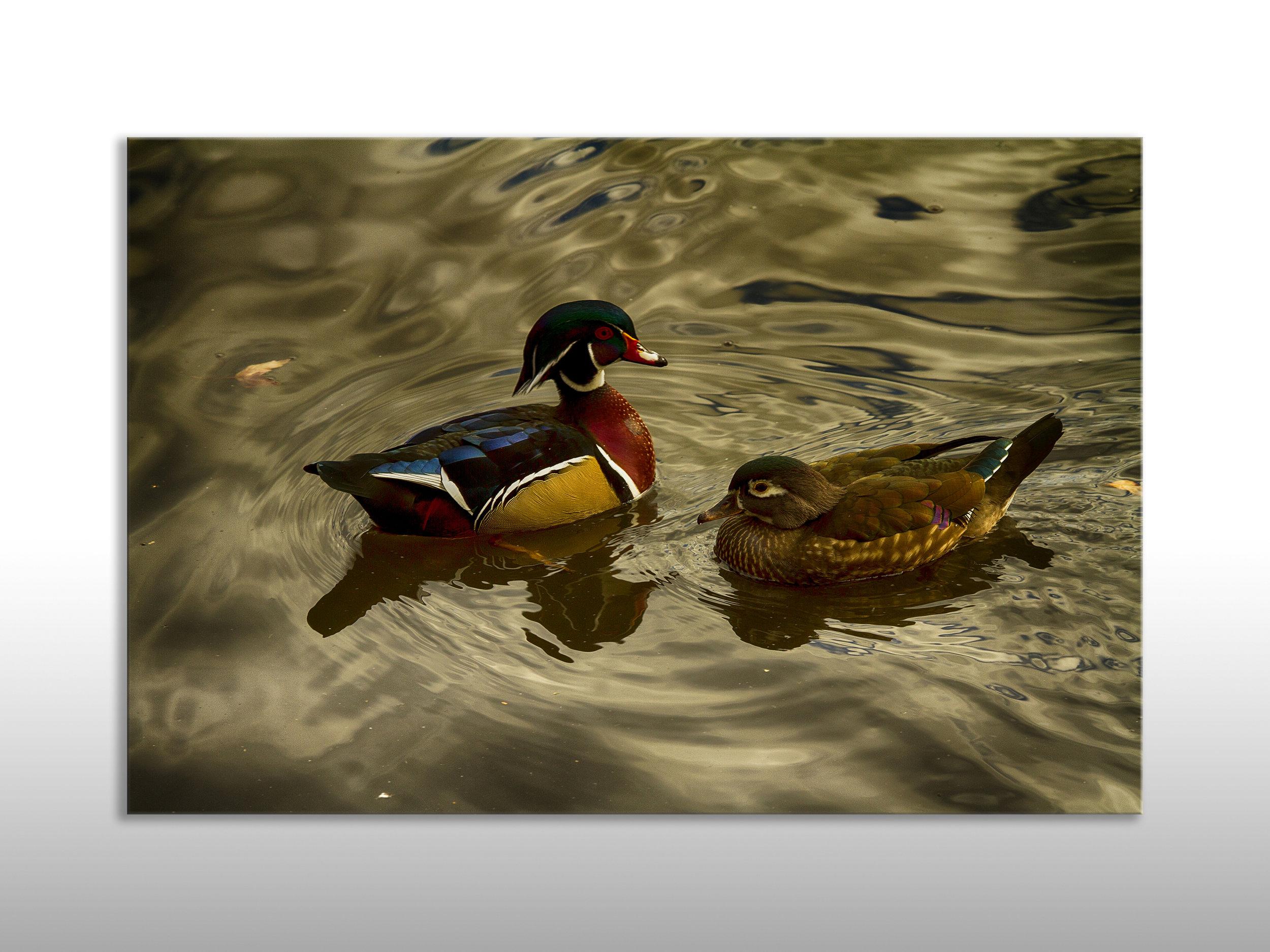 MQC Ducks.jpg
