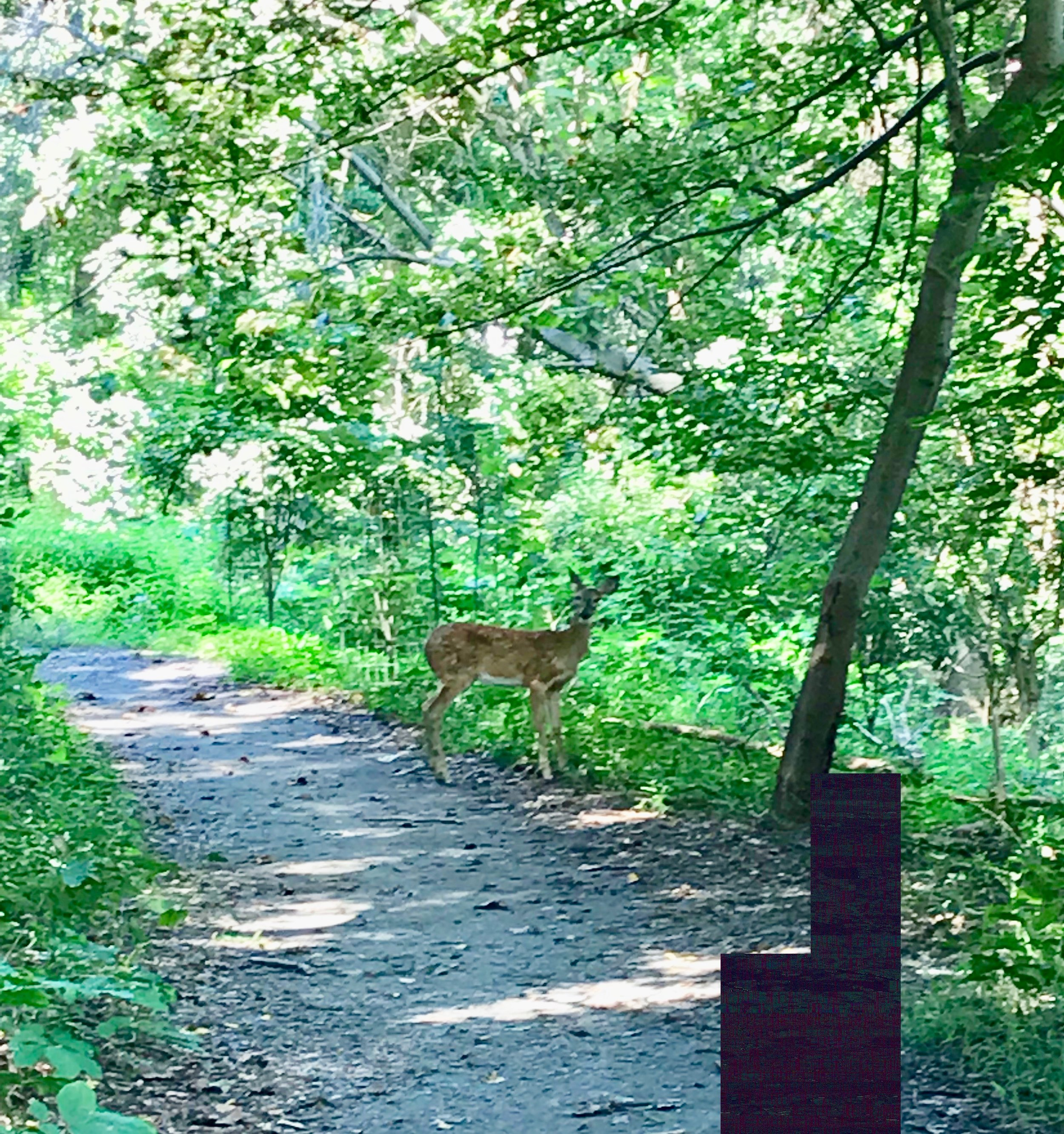 I was walking home from the DMV the other day and went through a park in Georgetown, and I turned the corner and there was a deer right in front of me!