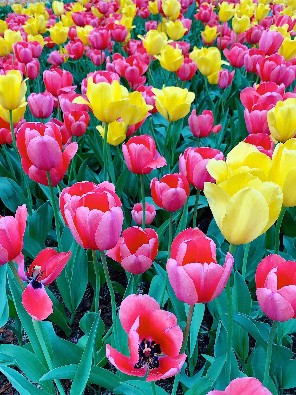 Washington DC tulips