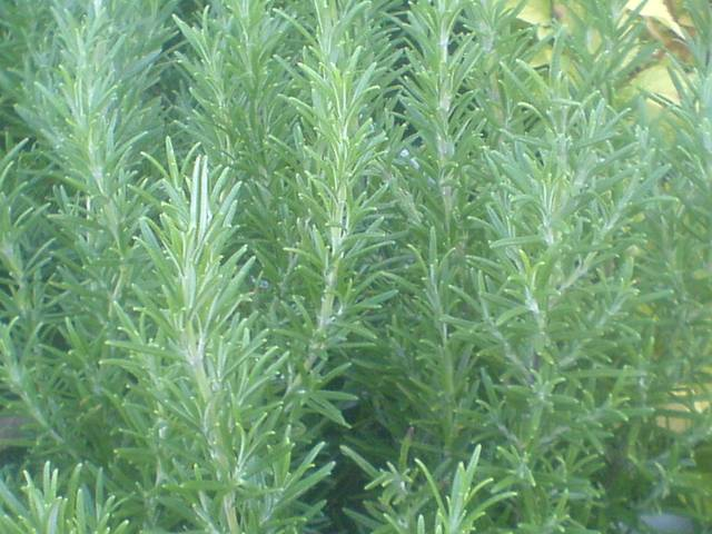 Rosemary - SpeedyBlue WinterAbraxas