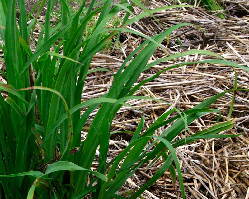 Lemongrass - Indian Lemongrass
