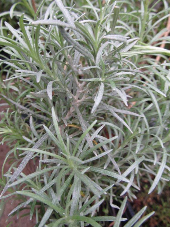 Curry Plant - Dwarf Aladin