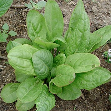 Sorrell - French SorrellLarge Leaf Sorrell