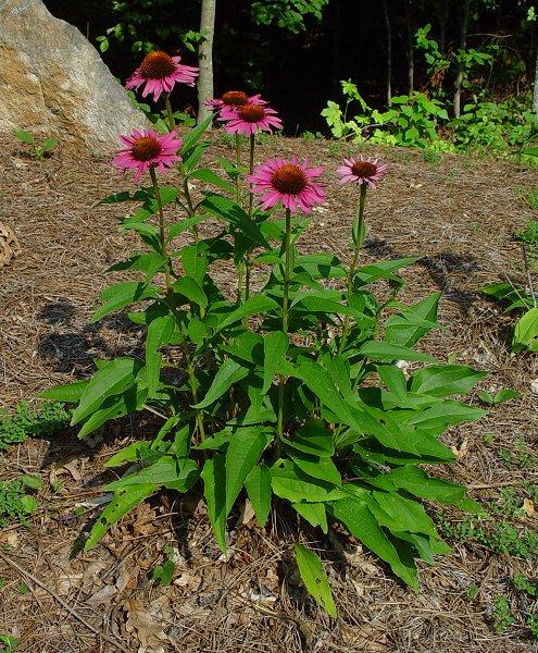 Echinacea - Purple Coneflower
