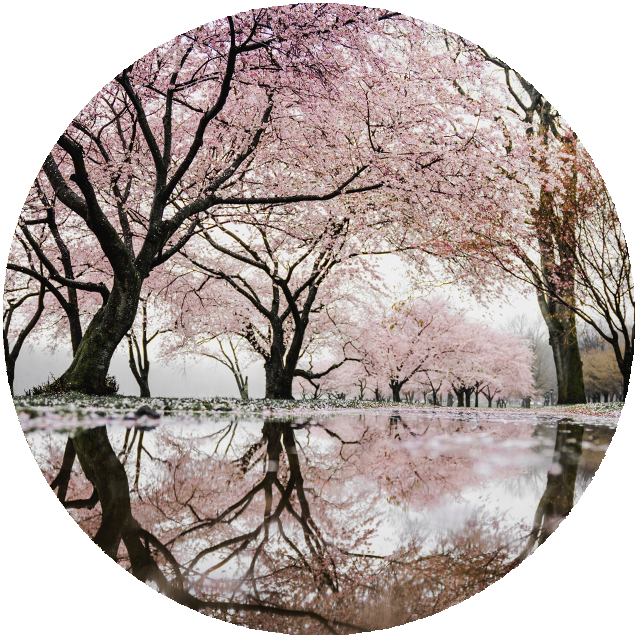Beautiful-Japanese-Cherry-Blossom.png