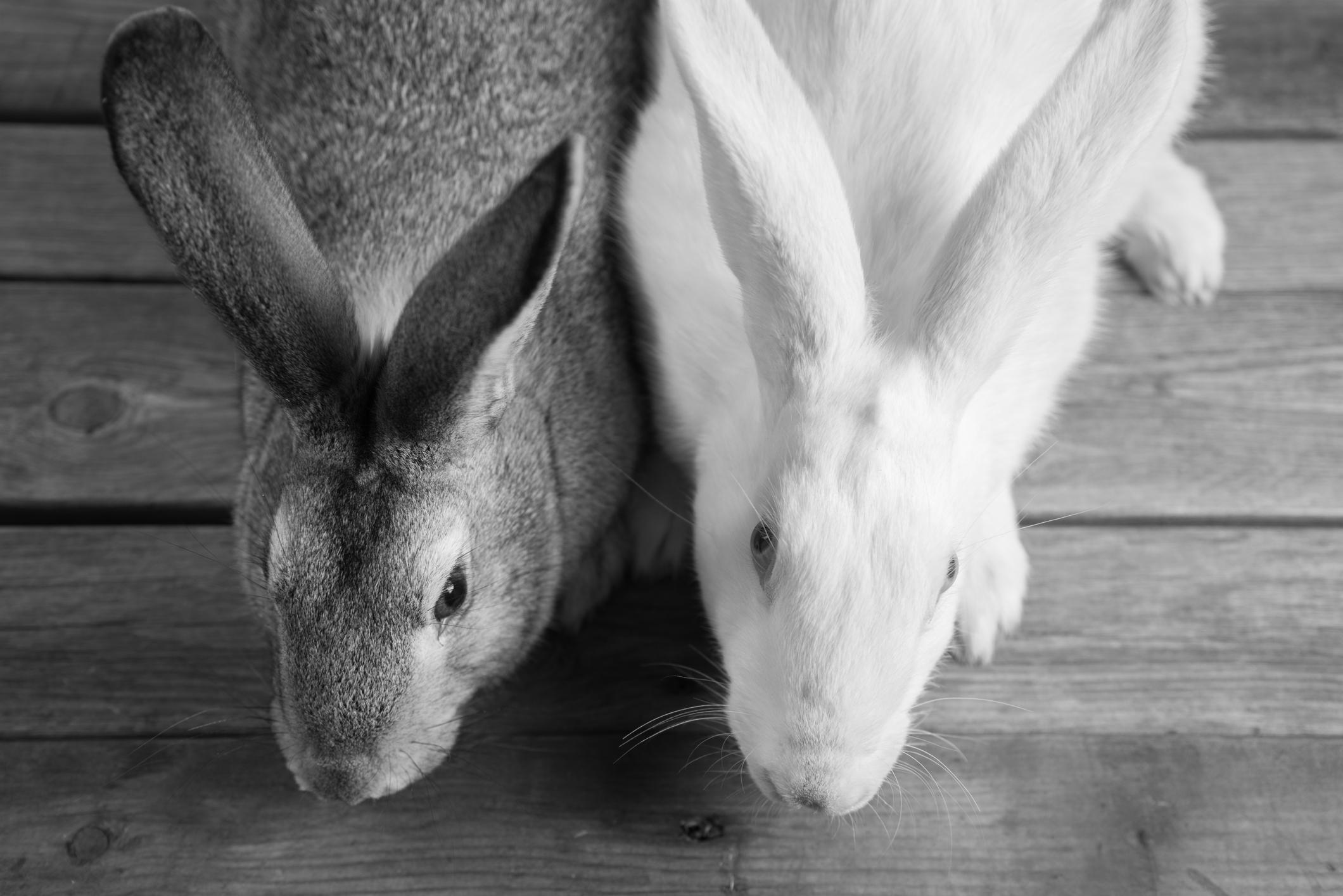animal testing -