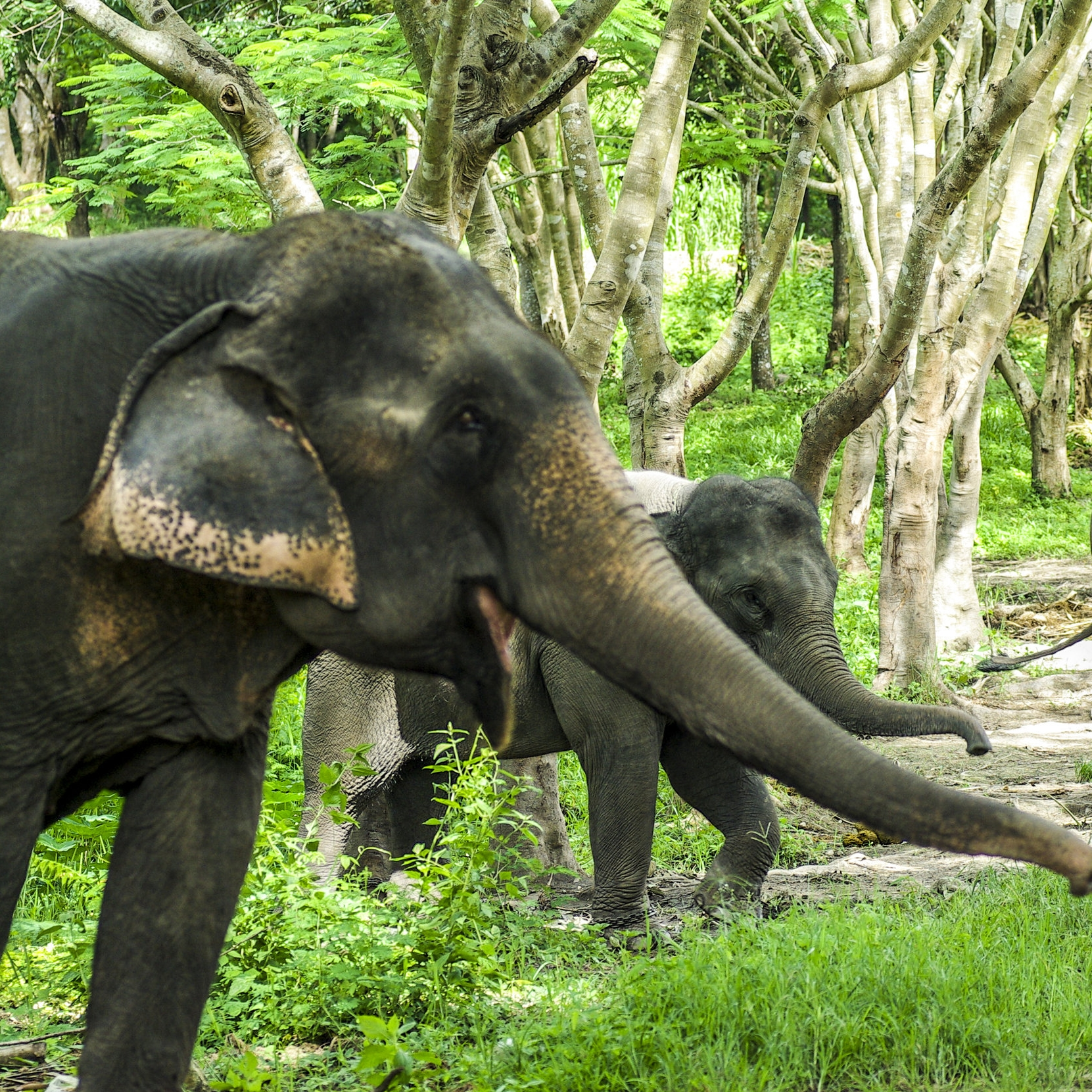 asian-elephant-in-forest_SvWg6byunzl.jpg