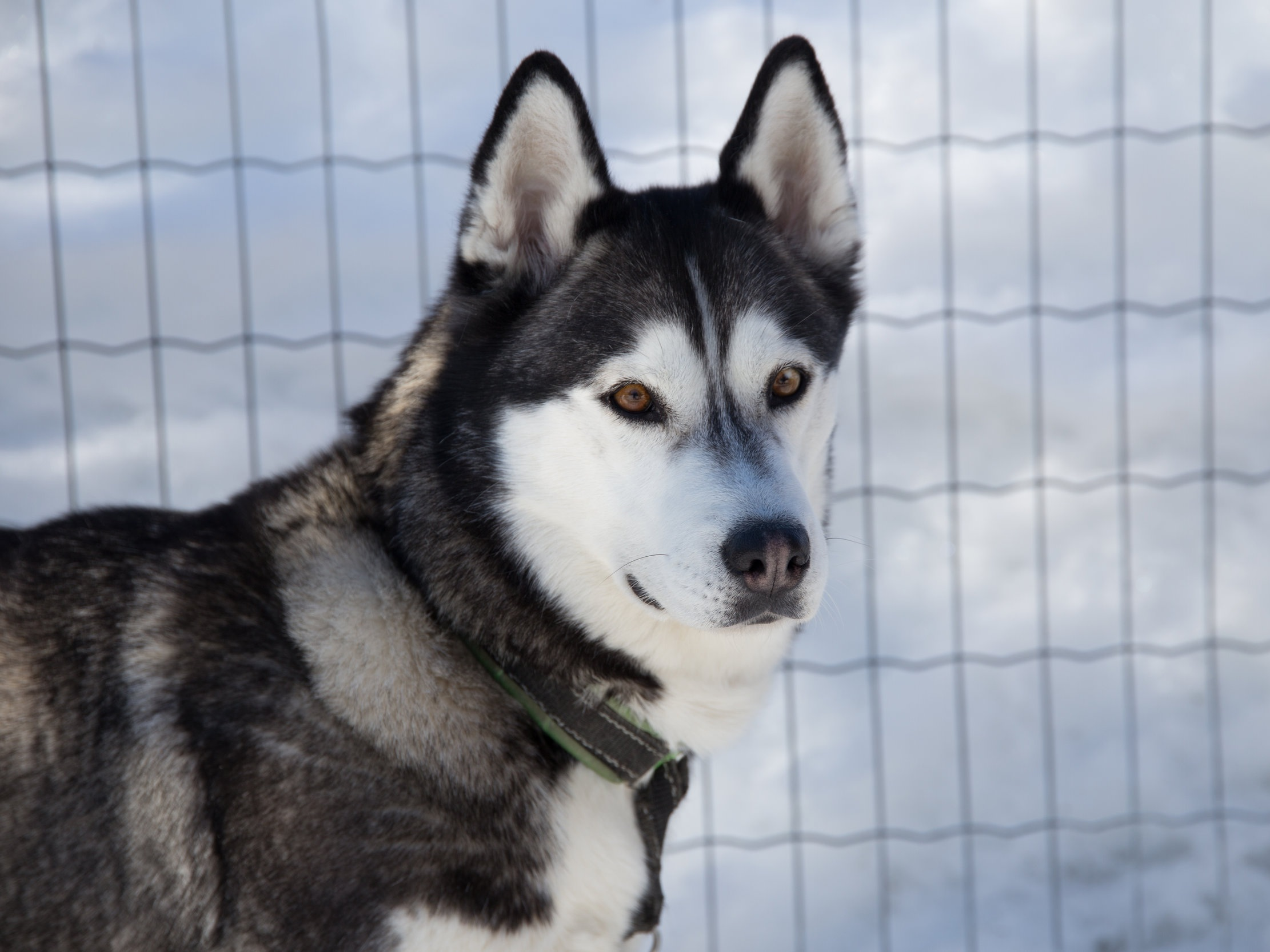 Alisha -  born 10 November 2014 - swing dog