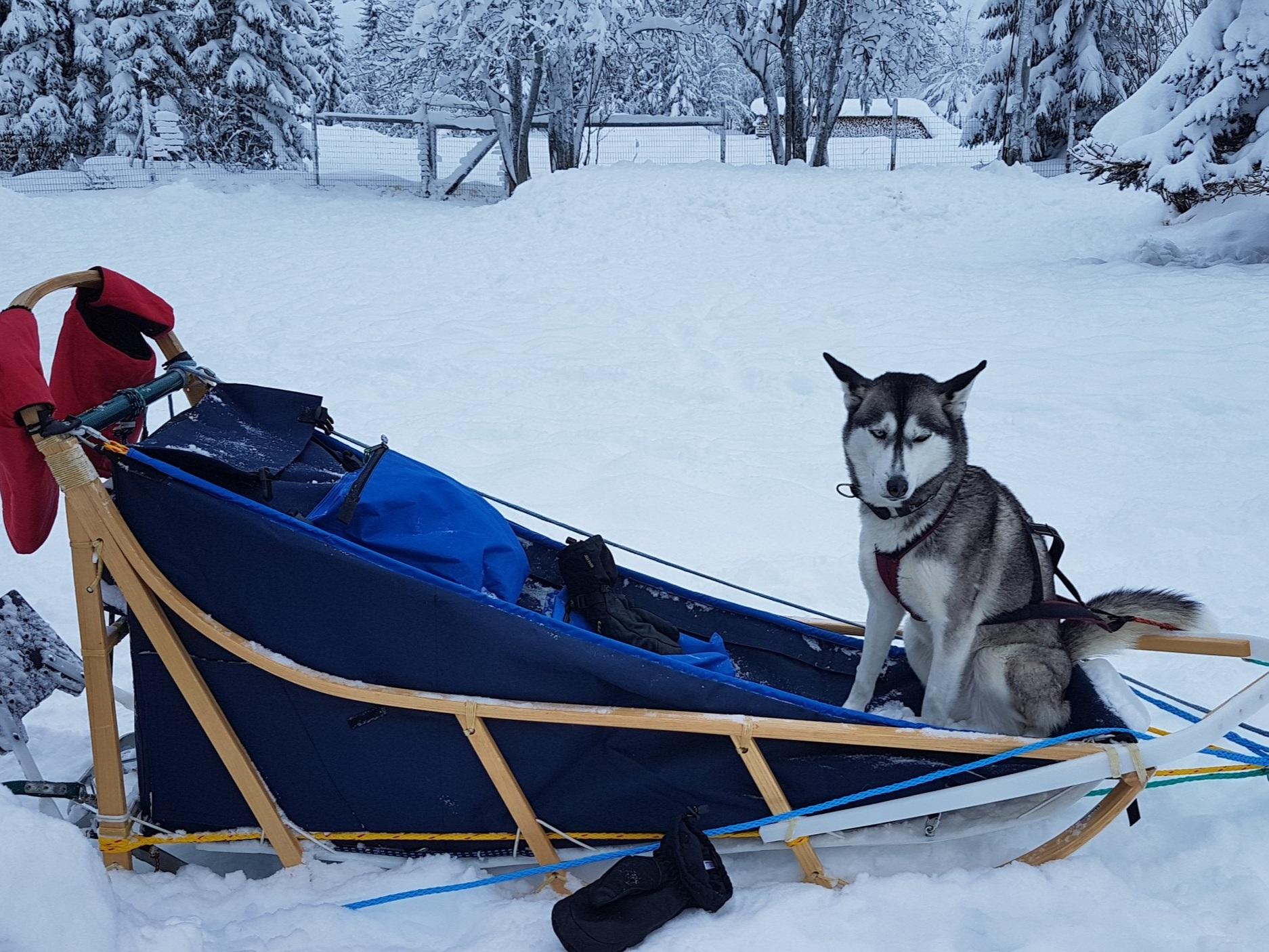 Frøya -  born 10 August 2014 - leader/swing dog