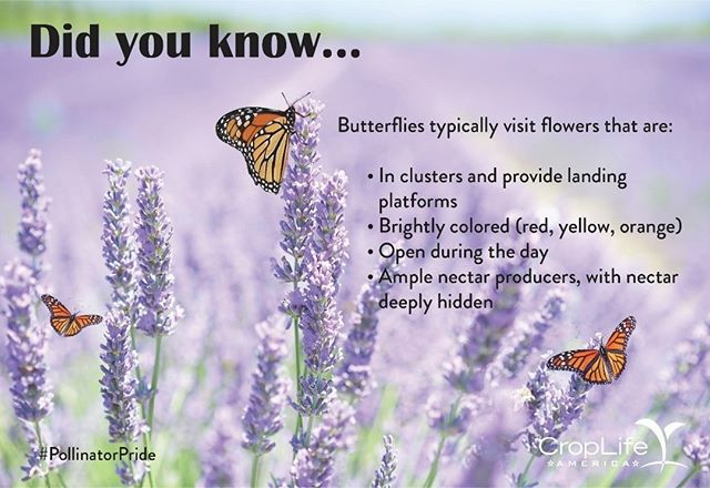 "Ever wonder how these graceful pollinators got their name? It's largely unknown, but some say they were originally called ""flutterbys""!"