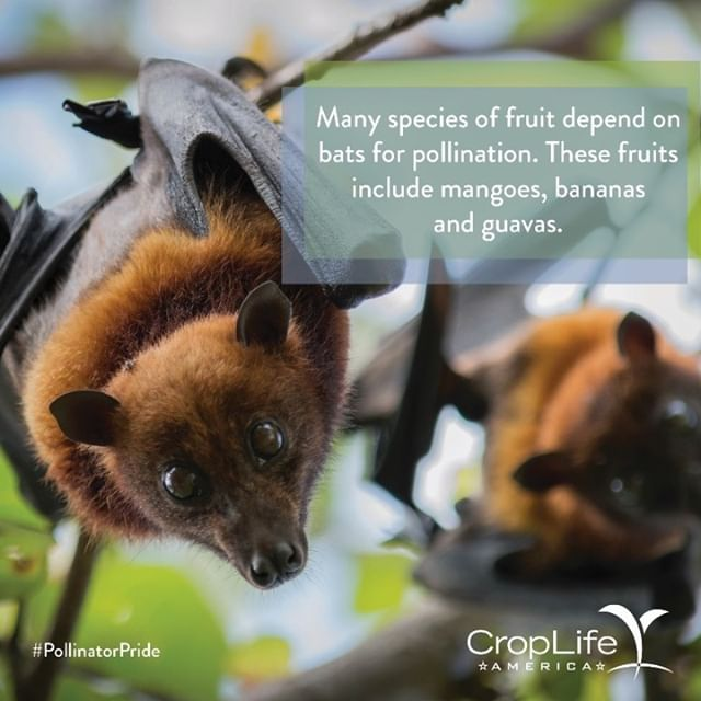 Many of the exotic, and arguably the tastiest fruits in the world would be in big trouble without these guys pulling all-nighters to pollinate!